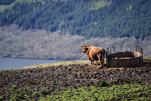 Highland Cow Enjoys The View