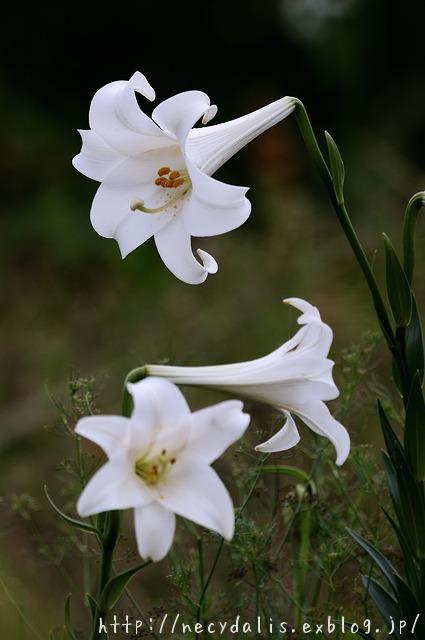 テッポウユリ [Lilium longiflorum]...