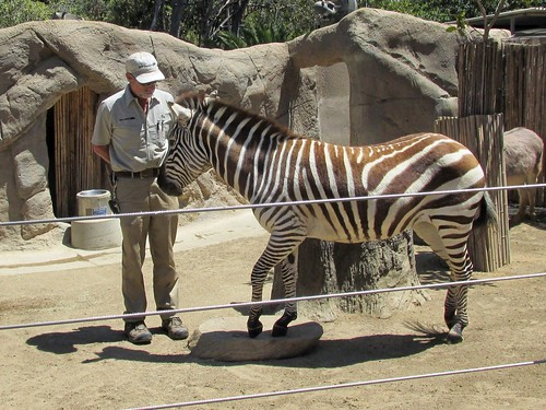 A Zebra getting some attention from one of the staff animal handlers at the San Diego Zoo.  June 2013. by Eddie from Chicago