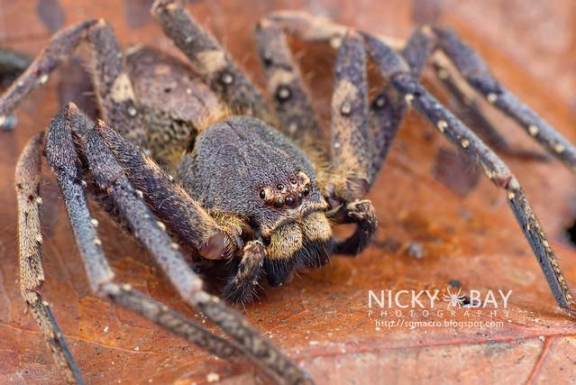 Huntsman Spider (Sparassidae) - DSC_1192