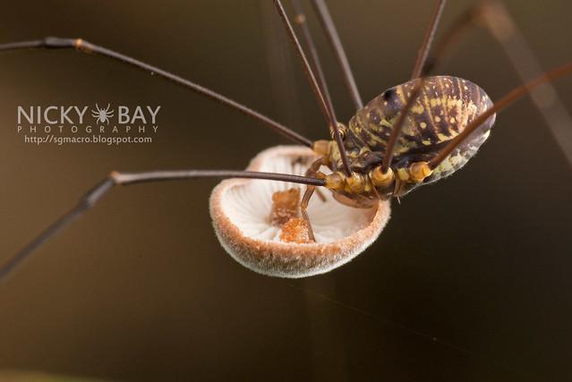 Harvestman (Opiliones) - DSC_1550