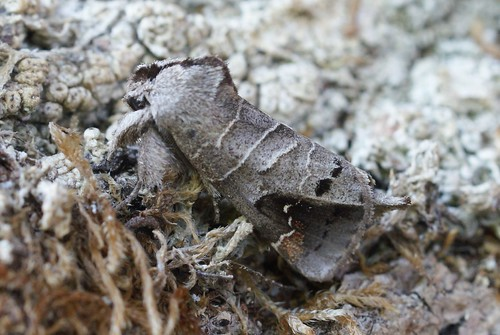 Scarce Chocolate-tip (Clostera anachoreta)
