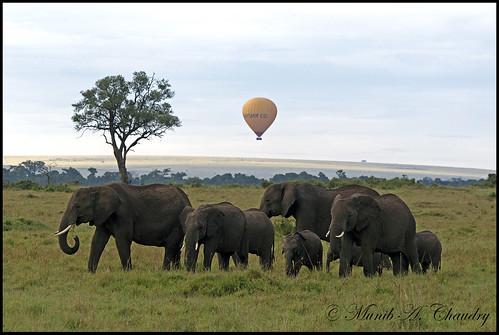 feeding kenya ngc ivory npc elephants masaimara poaching goldwildlife macswildpixels