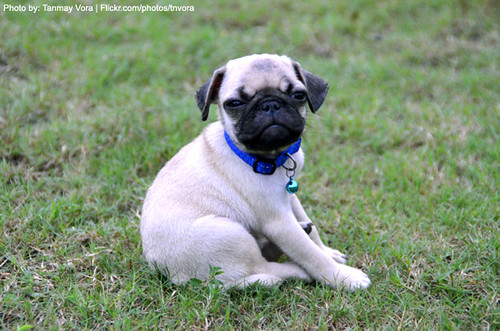 Cute Pug, Angry Expression!