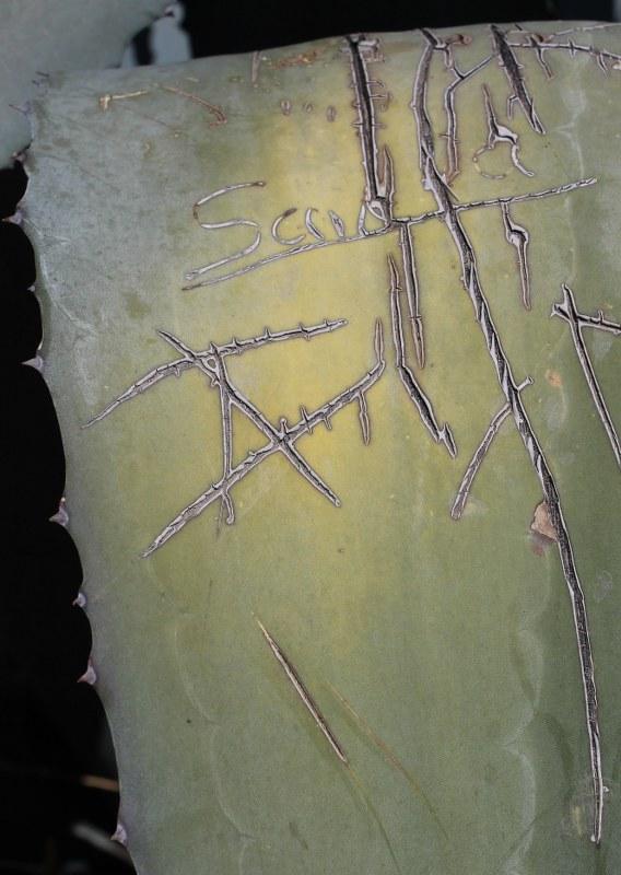 Agave graffiti