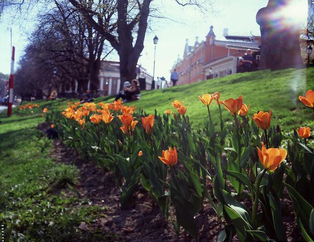 Tulips, Turku