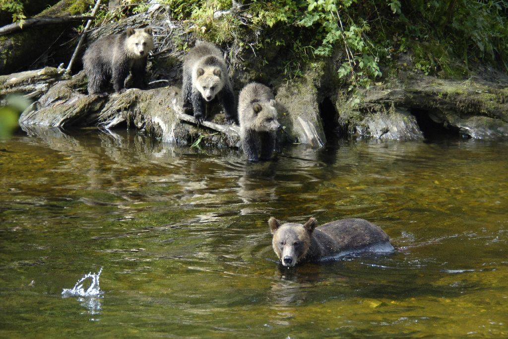 Grizzlies in the wild - can't wait!
