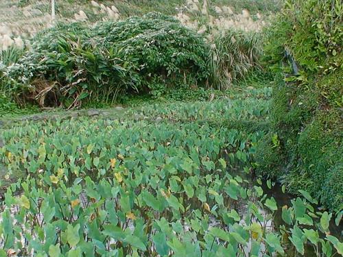 野生動物棲避敵的芋田周圍灌叢(圖片攝影:鄭漢文)