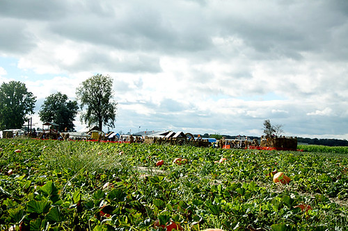 Tractor_View-of-pumpkin-farm