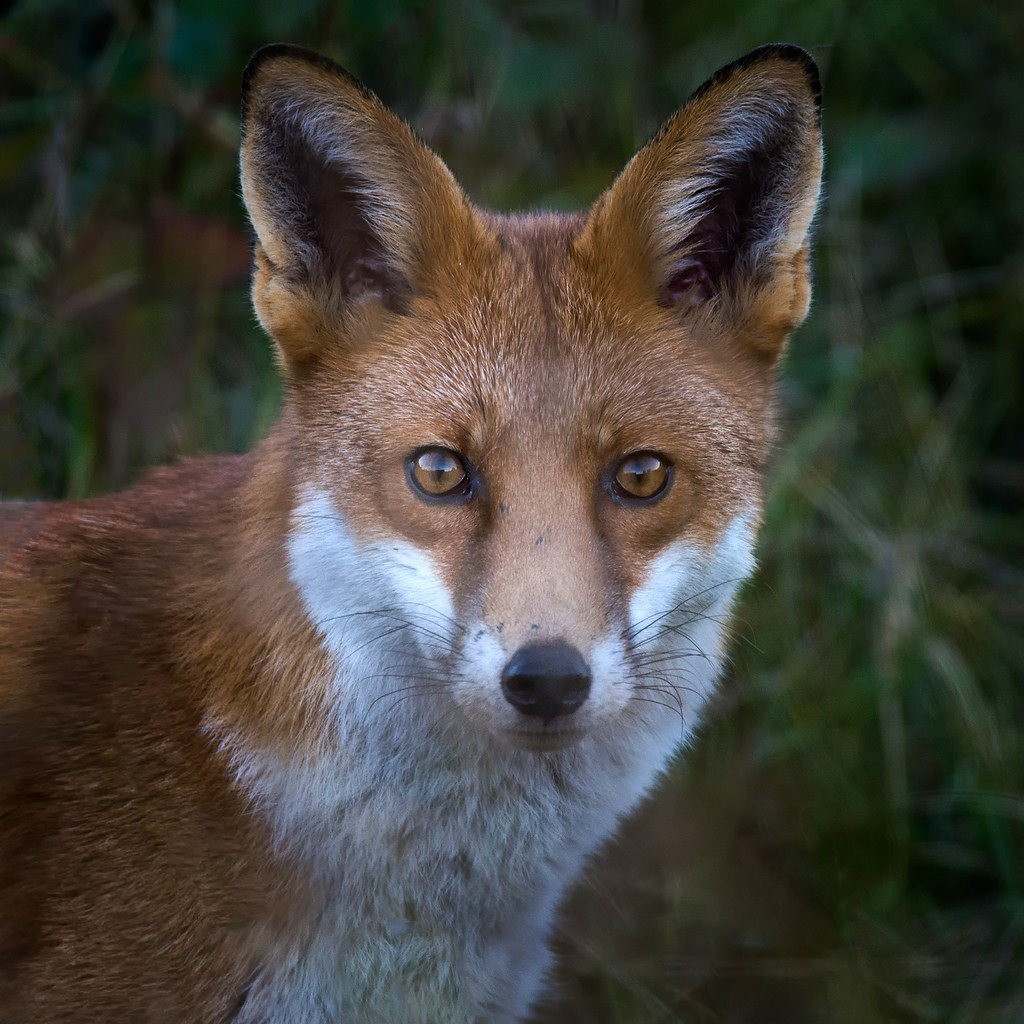 red fox face and - photo #3