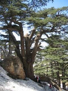 レバノン杉(Lebanon cedar)
