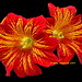 Salpiglossis sinuata 'Royale Red' by Kelley Macdonald