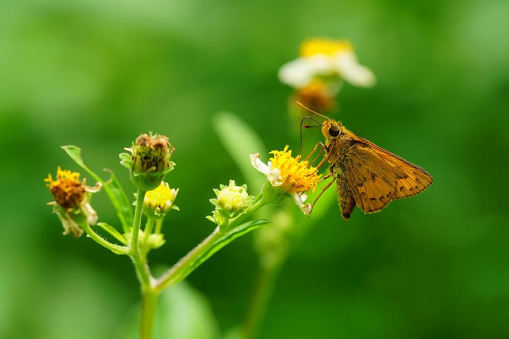 橙斑弄蝶屬竹橙斑弄蝶01
