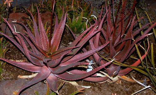 Aloe cameronii var bondana