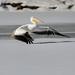 Pelican snow takeoff_42771.jpg