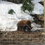 Caged bear 1