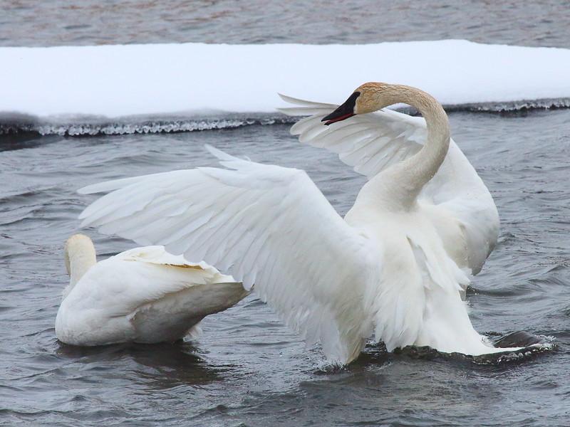 IMG_1214 Trumpeter Swan, National Elk Refuge