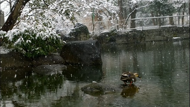 Duck at snowy pond