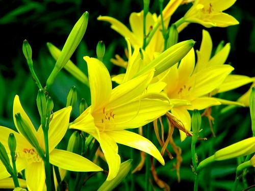 Dwarf yellow daylily