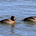 Greater and Lesser Scaups by ann.morrison75