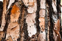 Longleaf pine bark
