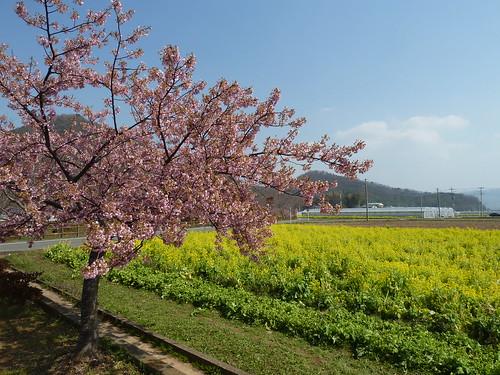 伊豆の国 江間いちご狩り 桜と菜の花