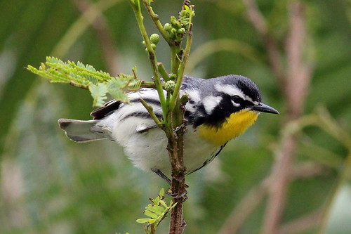 r Yellow-throated Warbler SPI 3-25-14 IMG_2077