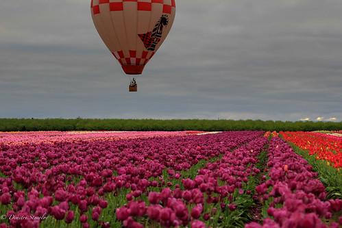 oregon colorful tulips overcast hotairballoon tulipfestival woodburn