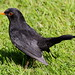 Male Blackbird enjoying the Sun