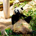 Eating bamboo w/o a care in the world