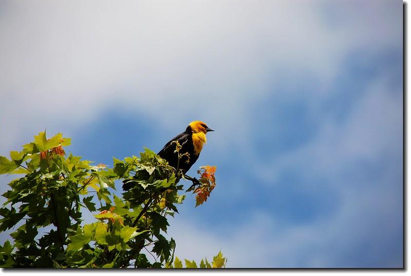 Yellow-headed Blackbird 5