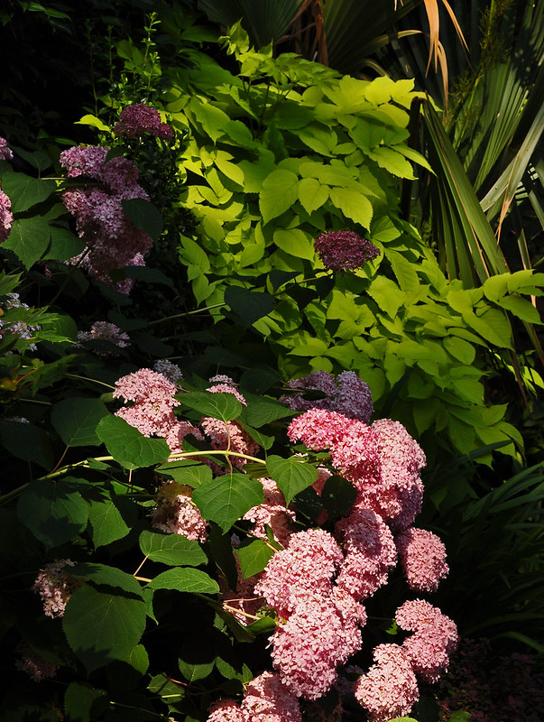 Hydrangea 'Invincibelle Spirit' and Aralia 'Sun King'