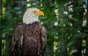 Bald Eagle by Photography And Artwork of Melissa McCarthy
