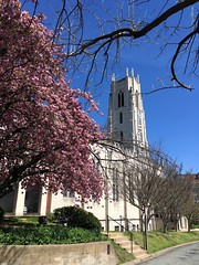 Double cherry in bloom at Church of the Pilgrims, Washington, D.C.
