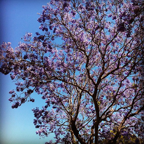 Jacaranda appreciation #2