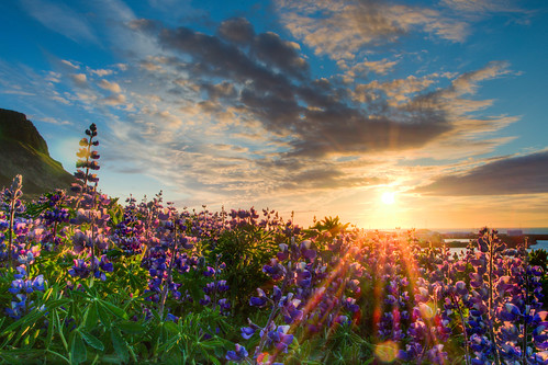 sunset sun nature field clouds landscape geotagged island golden evening iceland warm long solitude glow loneliness shine purple pentax outdoor warmth sigma calm lonely coordinates hdr position lat k5 snæfellsnes lupines olafsvik photomatix lupinen 2013 sigma1770 ólafsvík vesturland traumlicht traumlichtfabrik