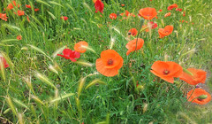 annual plant, prairie, flower, field, grass, plant, wildflower, flora, produce, coquelicot, meadow, poppy,