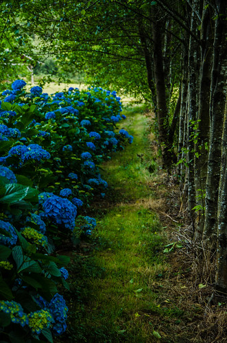 hydrangea production using natural shade with alder trees