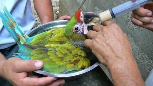 Crianza en cautiverio la esperanza de vida del papagayo for Cria de peces en cautiverio
