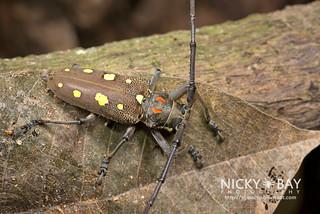 Mango Longhorn Beetle (Batocera rubus) - DSC_2096