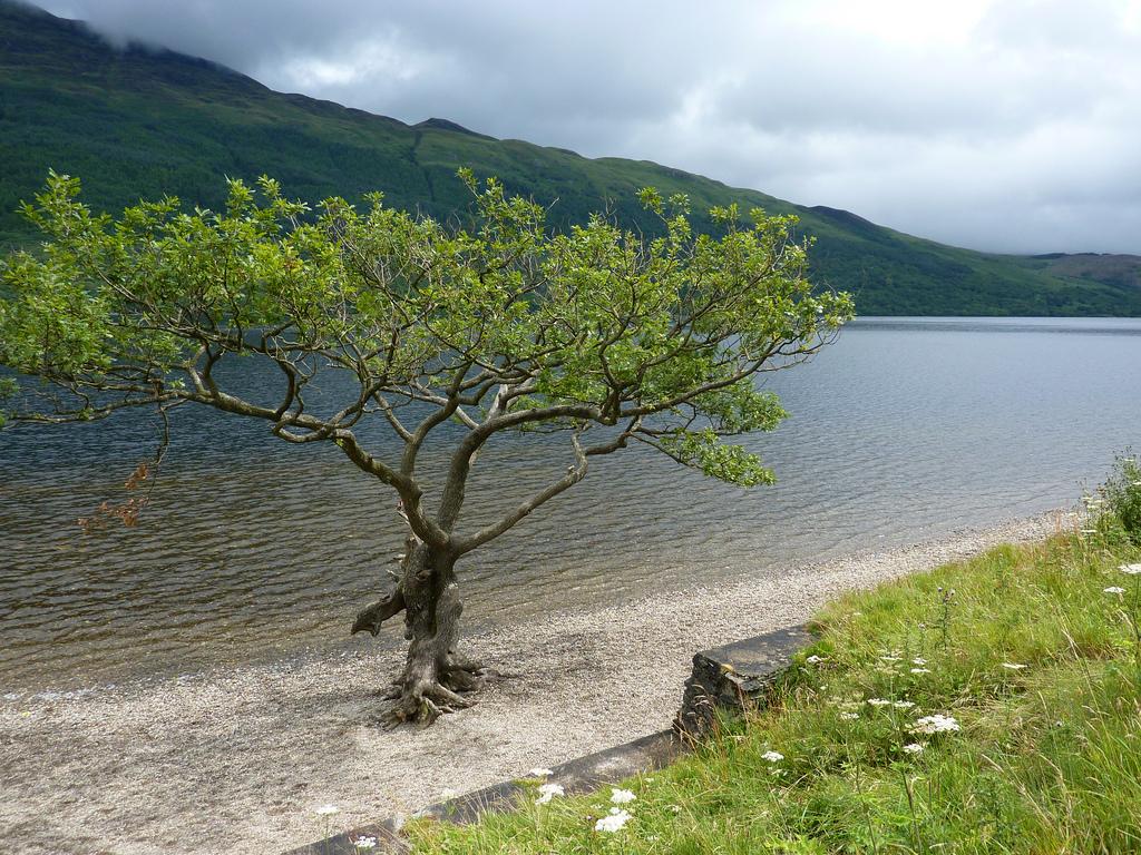 4. Árbol a orillas del Loch Lomond. Autor, Beth M527