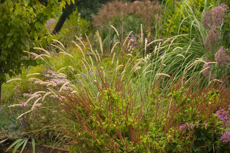 Rainy Day penisetum macrourum