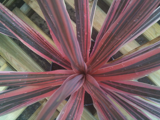 Cordyline australis 'Sunrise'