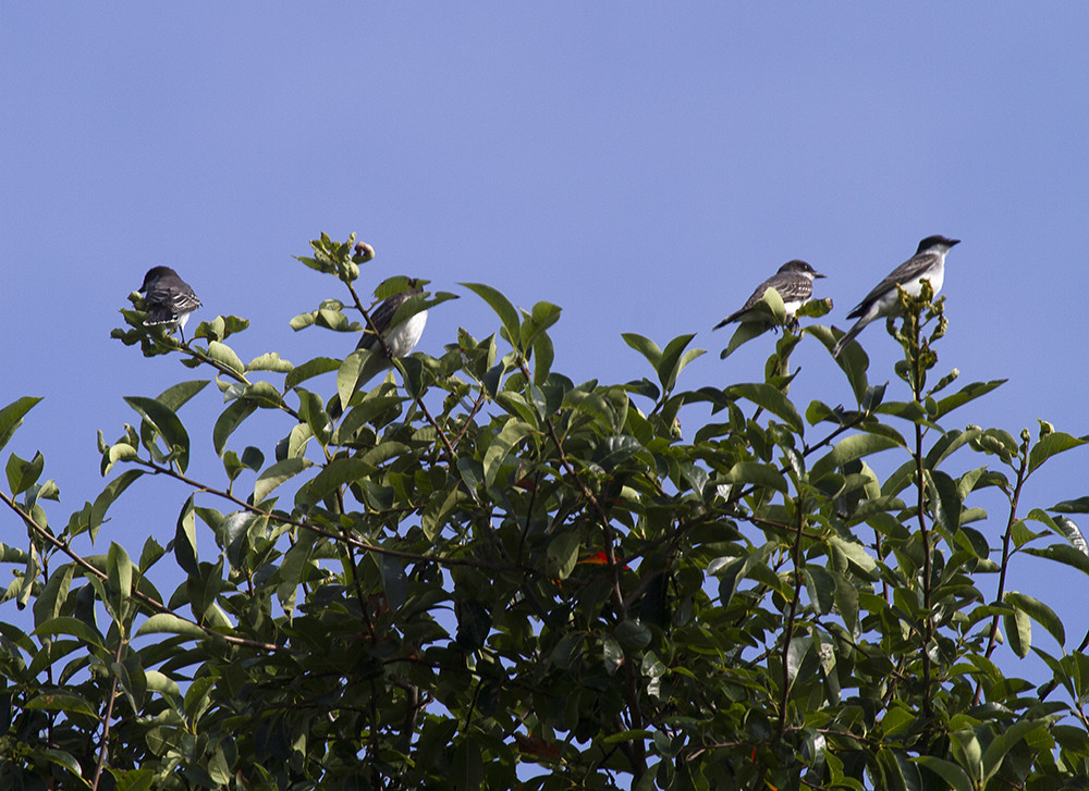 Kingbird Family