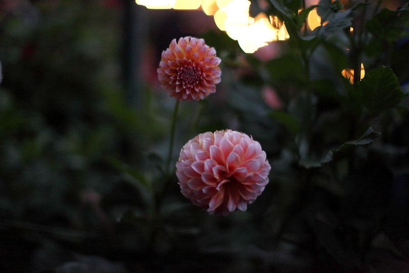 Dahlias at dusk