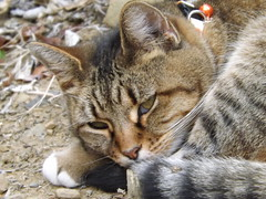 animal, kitten, tabby cat, small to medium-sized cats, pet, mammal, european shorthair, pixie-bob, fauna, close-up, cat, wild cat, whiskers, wildlife,