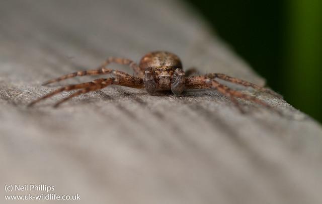 crab spider-2