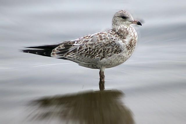 Female seagull - photo#17