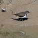 Small photo of Common Sandpiper. Actitis hypoleucos