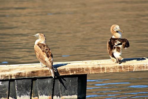 boobies riversidecounty bluefootedbooby sulanebouxii lakeskinner